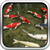 Real Koi Fish HD