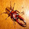 Orange Stag Beetle
