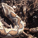 Palestinian viper (called common viper in Israel)