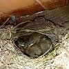 Golondrinas en su nido