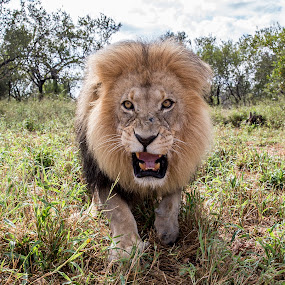 by John Mcloughlin Wildlife Photography - Animals Lions, Tigers & Big Cats ( lion, angry lion, big cats, wildlife, lion closeup,  )