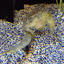 Sea horse hanging on to some kind of fish