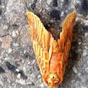 Footman Moth苔蛾