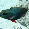 Redband Parrotfish ( juvenile)
