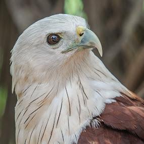Brahmny Kite by Avtar Singh - Animals Birds ( brahmny kite, avtar singh, bokeh back ground, reflection in eye,  )
