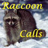 Raccoon Calls