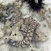 Feathermouth sea cucumber (Synaptidae)