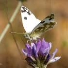 Bath White Butterfly on flower