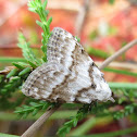 Scarce Black Arches