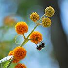 Bumble Bee on Orange Ball Tree