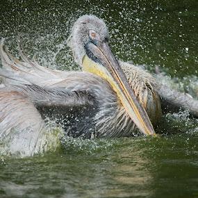 Pelican by Foo Fok - Animals Birds