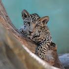 Jaguar (cubs)