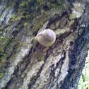 Queen crater snail