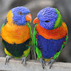 Red-collared Lorikeet and Rainbow Lorikeet