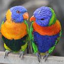 Red-collared Lorikeet and Rainbow Lorikeet