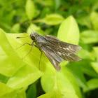 Dark Branded Swift (Skipper Butterfly)