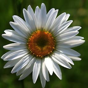 daisy by Sunil Pawar - Flowers Single Flower ( macro, nature, petals, outdoor, daisy, yellow, portrait, flower,  )
