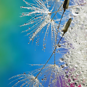 Seeds by Lynne McClure - Abstract Water Drops & Splashes ( water, abstract, macro, dandelion, seeds,  )