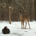 Wild Turkey (with deer)