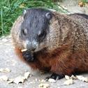 Groundhog / Woodchuck