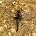 Blue Corporal Dragonfly