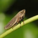 Froghopper or Spittlebug