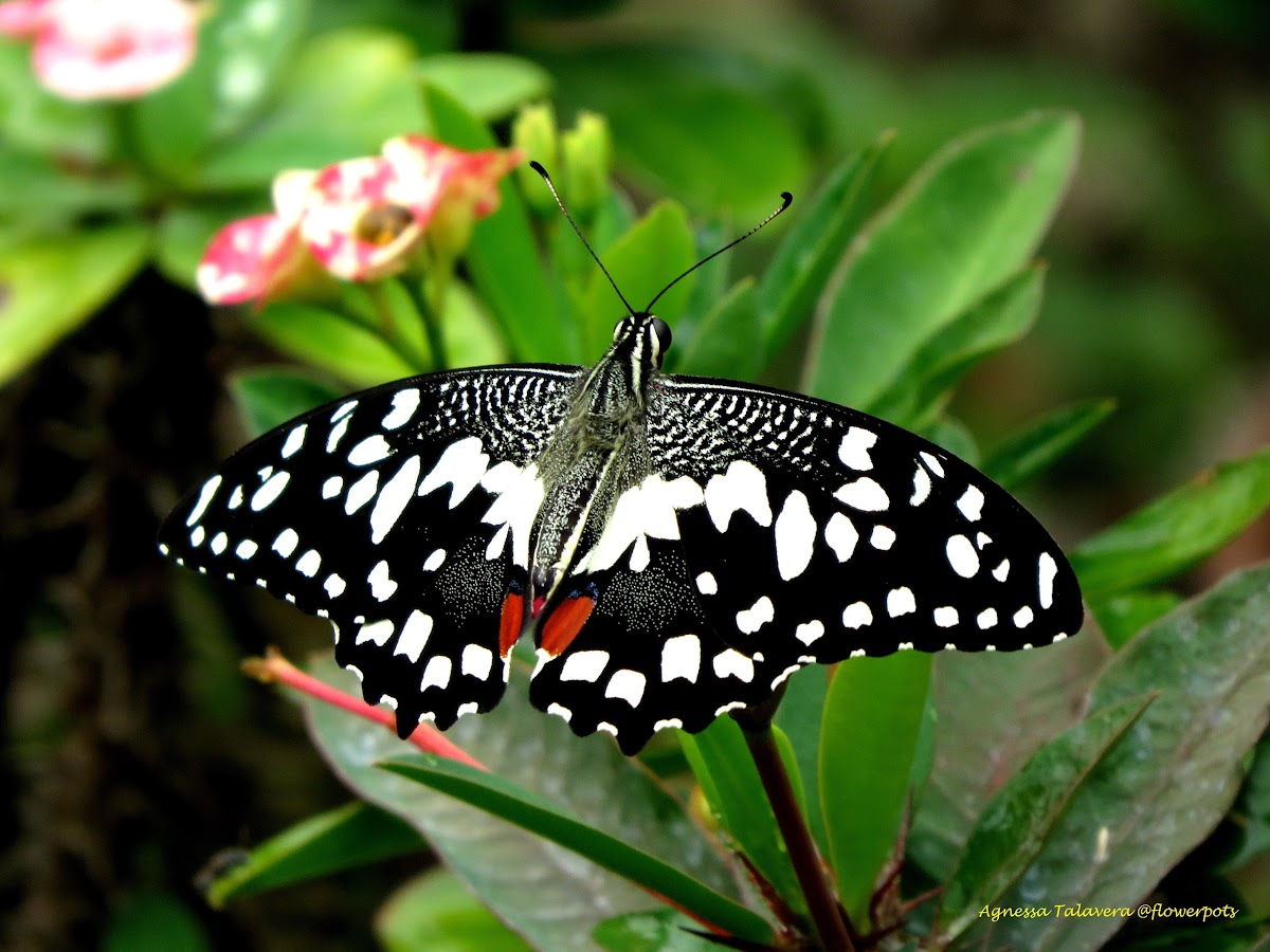 Lime Butterfly (Male)