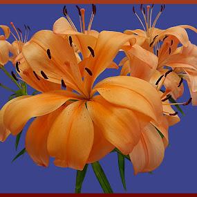 Lily Love II by Diana Postill - Flowers Flower Arangements ( orange, bouquet, lily, nature, flower )