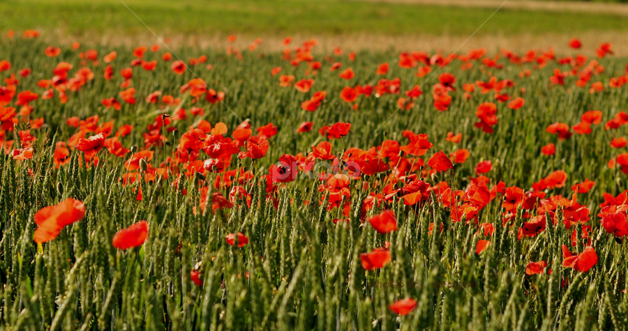 red poppies in wheat by Dragutin Vrbanec - Flowers Flowers in the Wild ( wheat, spring field, red, poppies, spring )