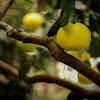 Oroblanco Hybrid Grapefruit