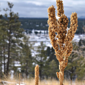 Winter Weeds by Ash Swetland - Nature Up Close Trees & Bushes ( dry, grass, plants, forest, landscape, winter, nature, flagstaff, snow, outdoors, weeds, dead, hike )