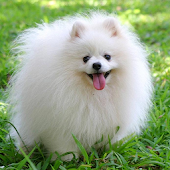 Pomeranian Wallpapers