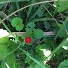 Fragolina di bosco