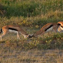 Thompson`s Antelopes fighting