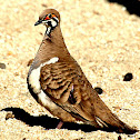 Squatter Pigeon ( Northern race )