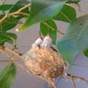 Hummingbird Babies
