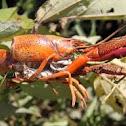 Red swamp crayfish
