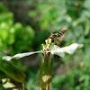 Cvjetna muha (Flower fly)