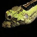 Anoles Lizard