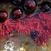 Waratah anemone
