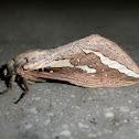 Ghost moth (♂)