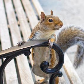 Bench Portrait by Nicolas Los Baños - Animals Other Mammals ( washingtondc, animals, furry, cute, squirrel,  )