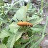 Yellow blister beetle
