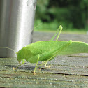 type of Katydid?