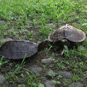 Asian Leaf Turtle