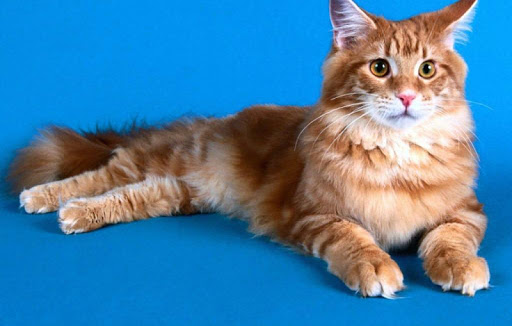 Maine Coon Cat Wallpapers HD