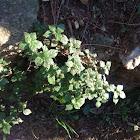 Parietaria (Morella roquera)