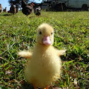 Duckling Muscovy Duck