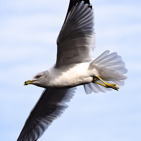 Look Out Below by Ed Hanson - Animals Birds ( bird, gull, nature, in-flight, close-up )