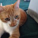 Domestic cat, orange tabby mix